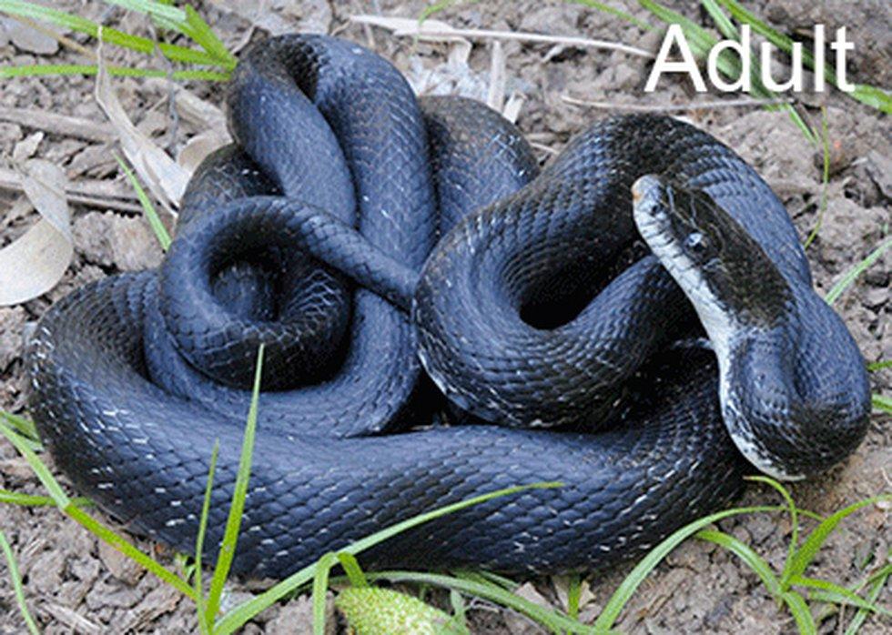 Eastern (black) rat snake. (Virginia Herpetological Society)