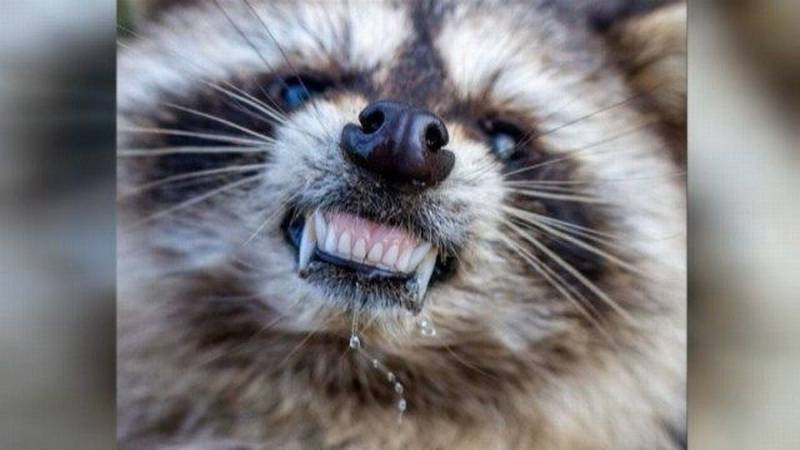 The raccoon was found in a Henrico resident's backyard with their dog (File Photo)
