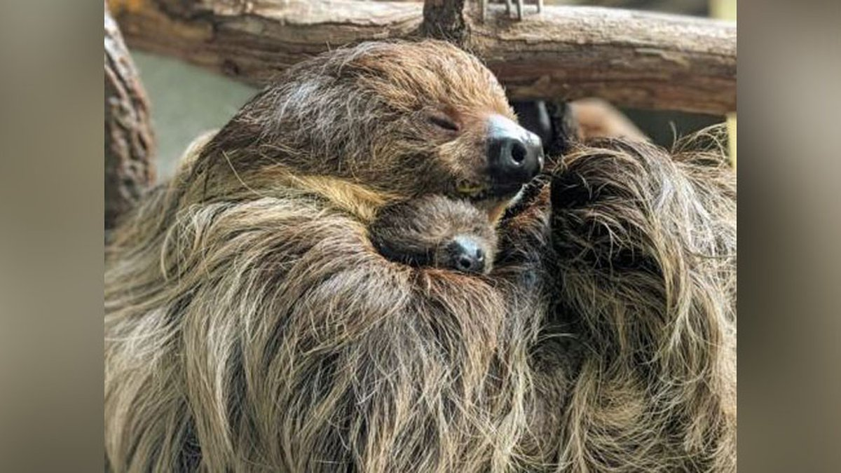The baby sloth is The Virginia Zoo's first of it's kind, and is the first offspring for its...