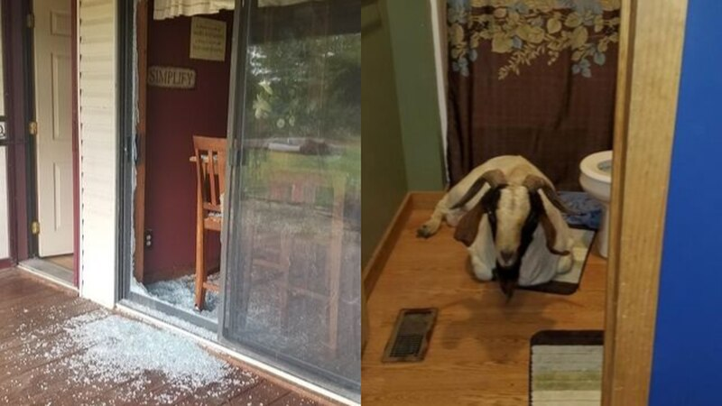 Goat broke into home in Ashland County
