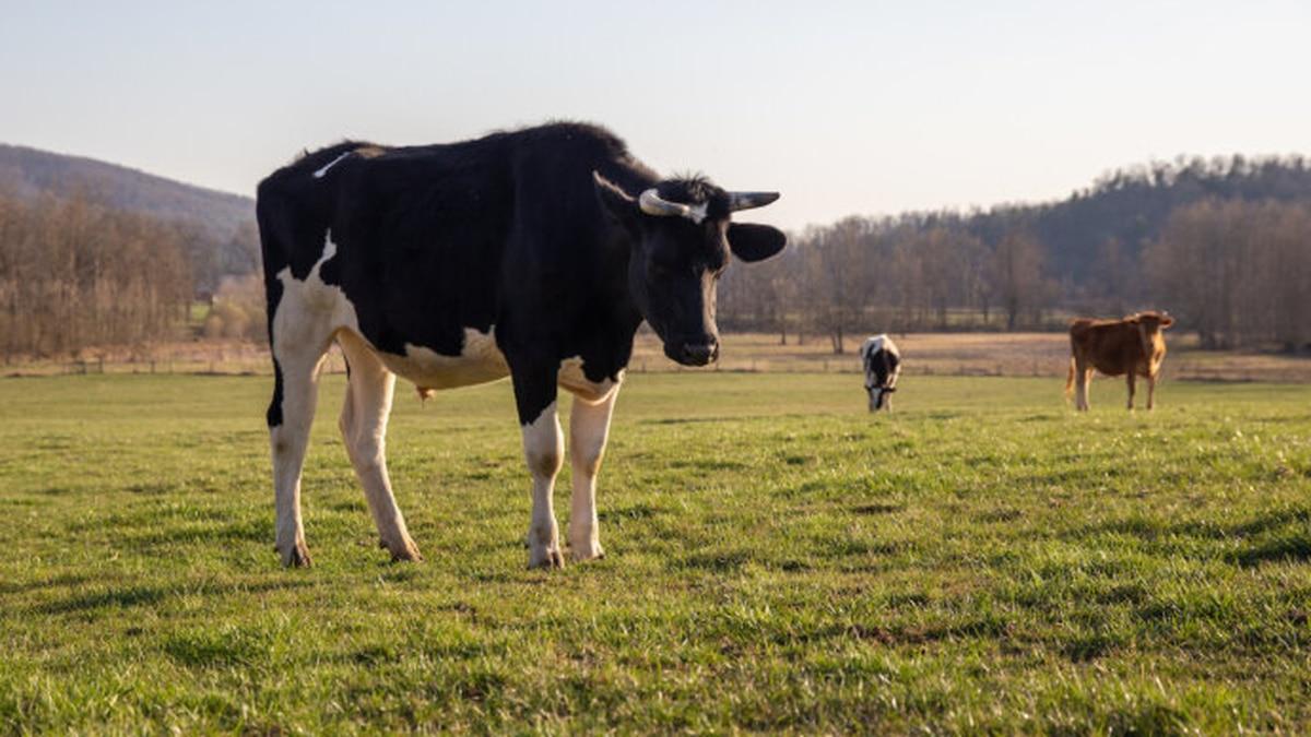Dairy cows graze in Stanley, Va.