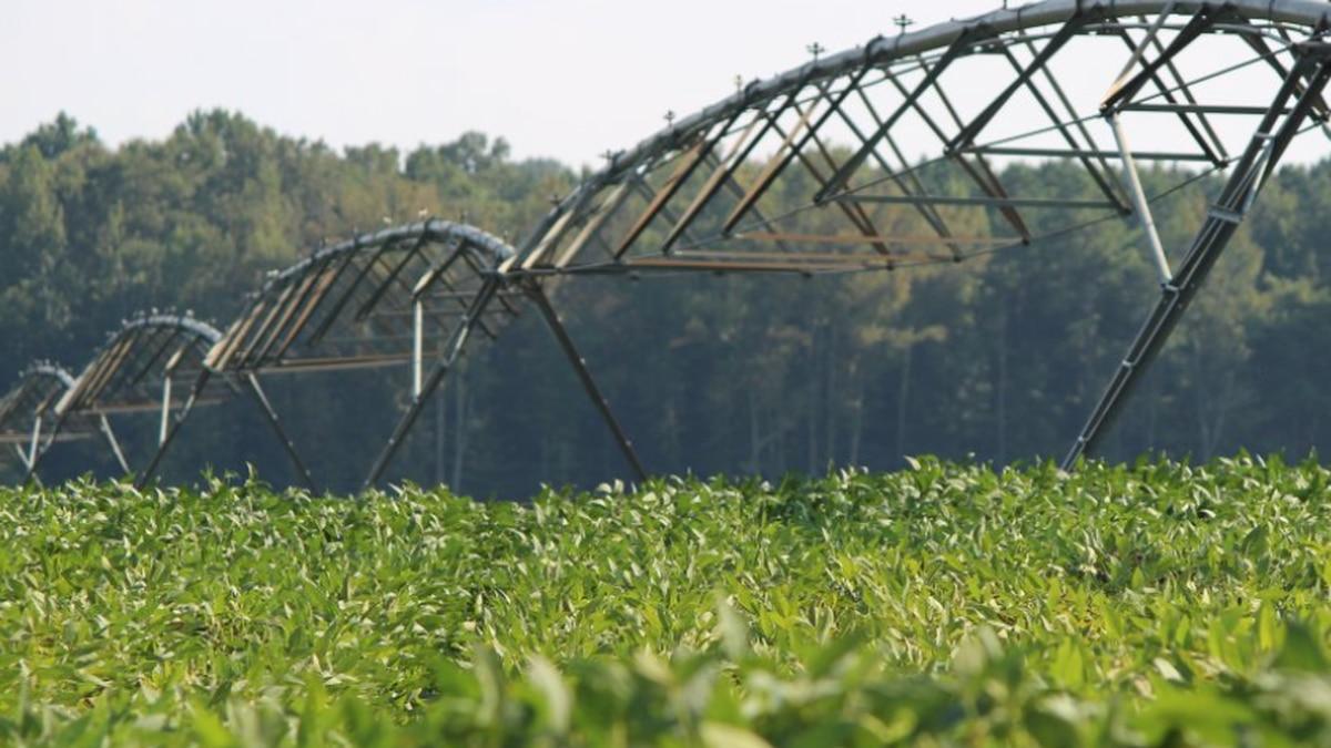 A soybean field in Caroline County.