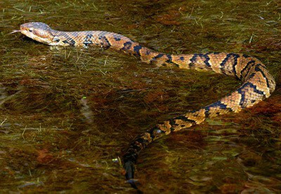 Northern cottonmouth. (Virginia Herpetological Society)