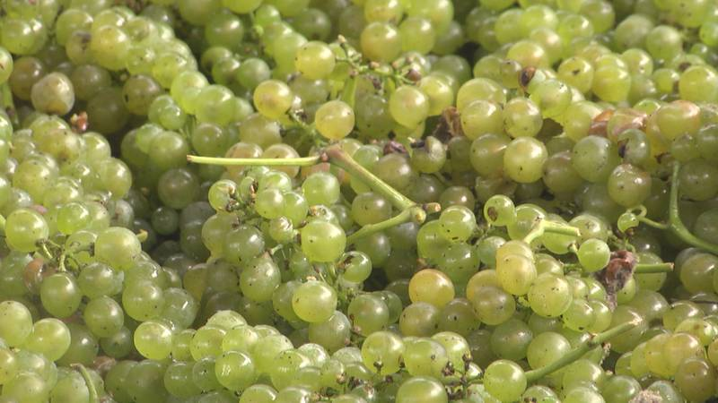 White wine grapes about to be processed at Jefferson Vineyards.