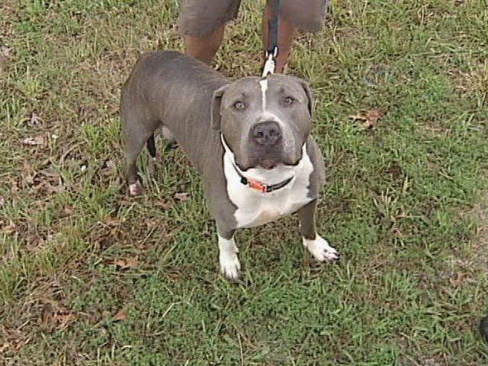Zeus, the pit bull
