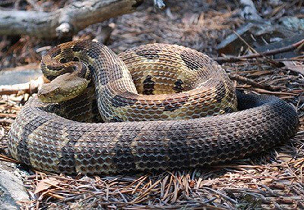 Timber rattlesnake (Virginia Herpetological Society)