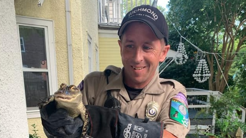 Baby alligator rescued by RACC.