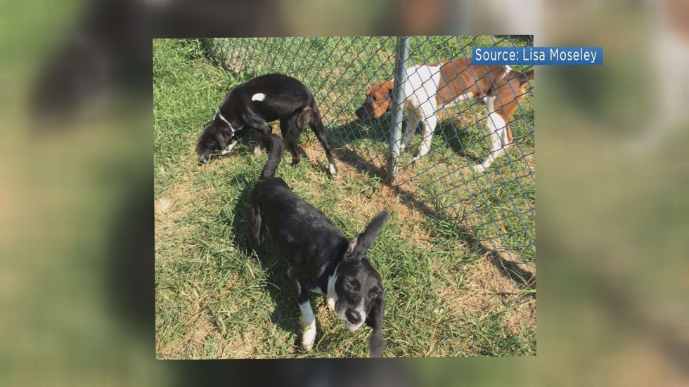 Three of the six dogs that were treated for heartworm, as part of the launch of the Tommie Fund.