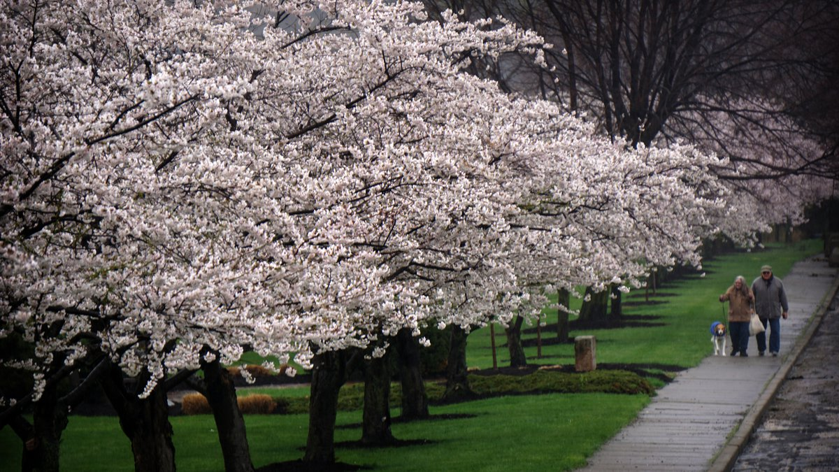 The Japanese cherry trees are blooming at Brookside Reservation. Cleveland Metroparks annually...