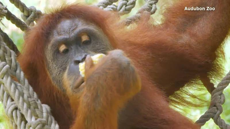 """The pregnancy is welcome news as Sumatran orangutans are """"critically endangered"""" and are..."""