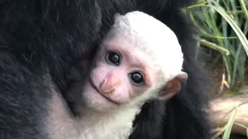 Colobus monkey at the Metro Richmond Zoo.