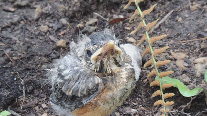 On the West Coast there have been reports of baby birds jumping from their nests due to the...