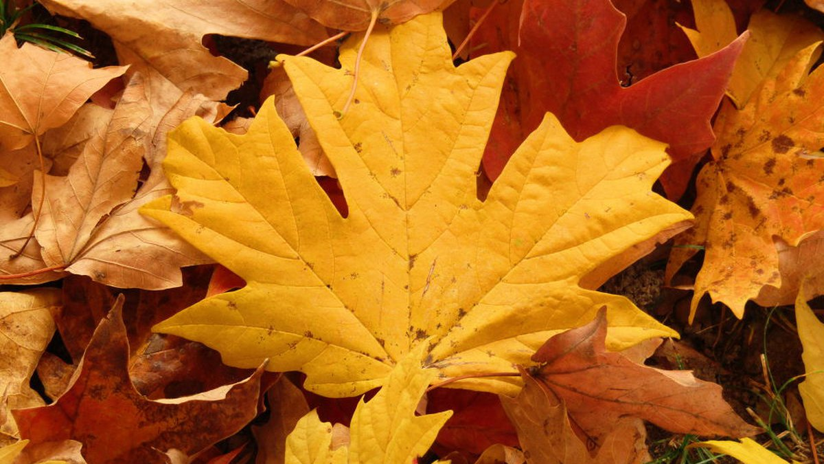 Beautiful autumn leaves.  (Source:  CNews/James Gullage)