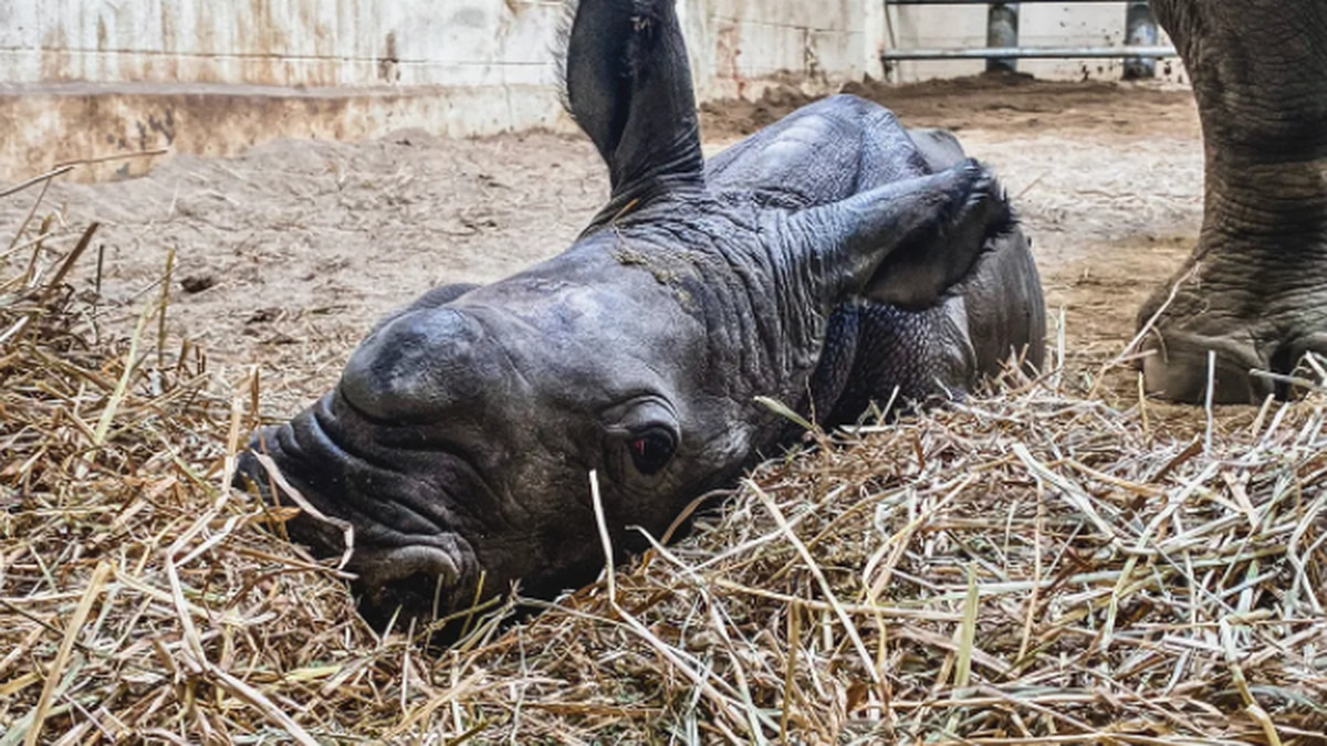 The baby rhino was born on July 11.