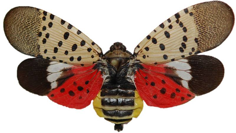 Spotted Lanternfly (Source: PA Department of Agriculture)