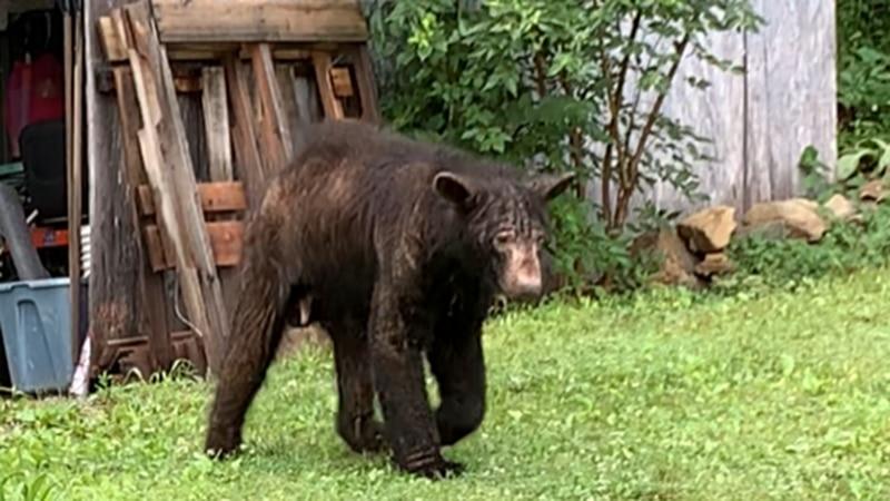 Bear suffering from mange (FILE)