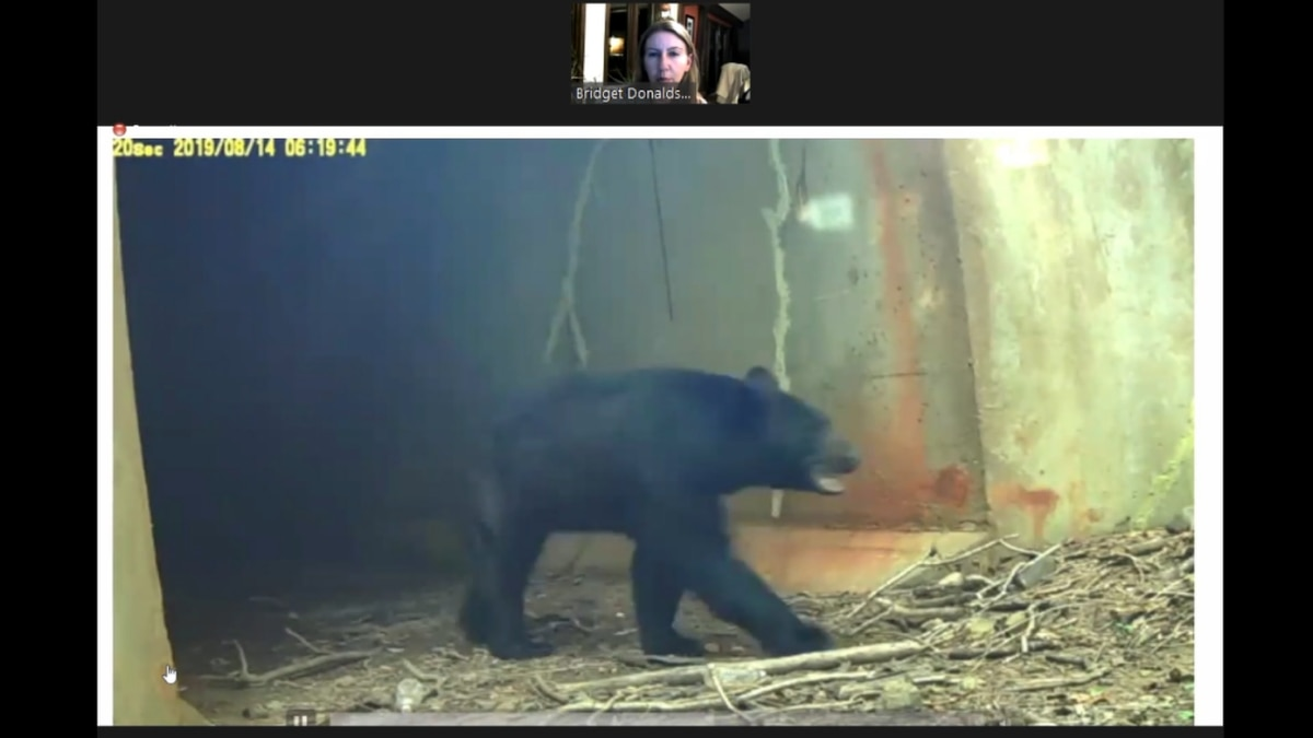 One of VDOT's animal cameras captures a bear successfully using an underpass near a roadway