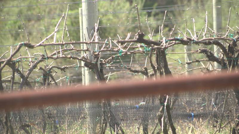 Wineries narrowly avoided devastating frost, as temperatures plummeted as vines were nearing...