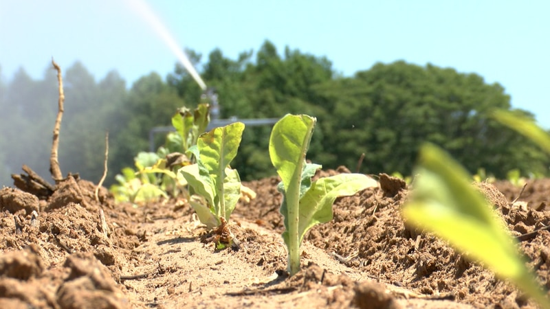 Some farmers are praying for rain after the warm dry weather has impacted crops