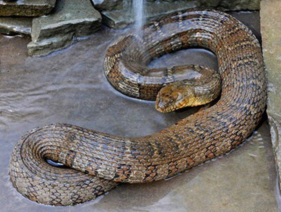 Northern water snake. (Virginia Herpetological Society)