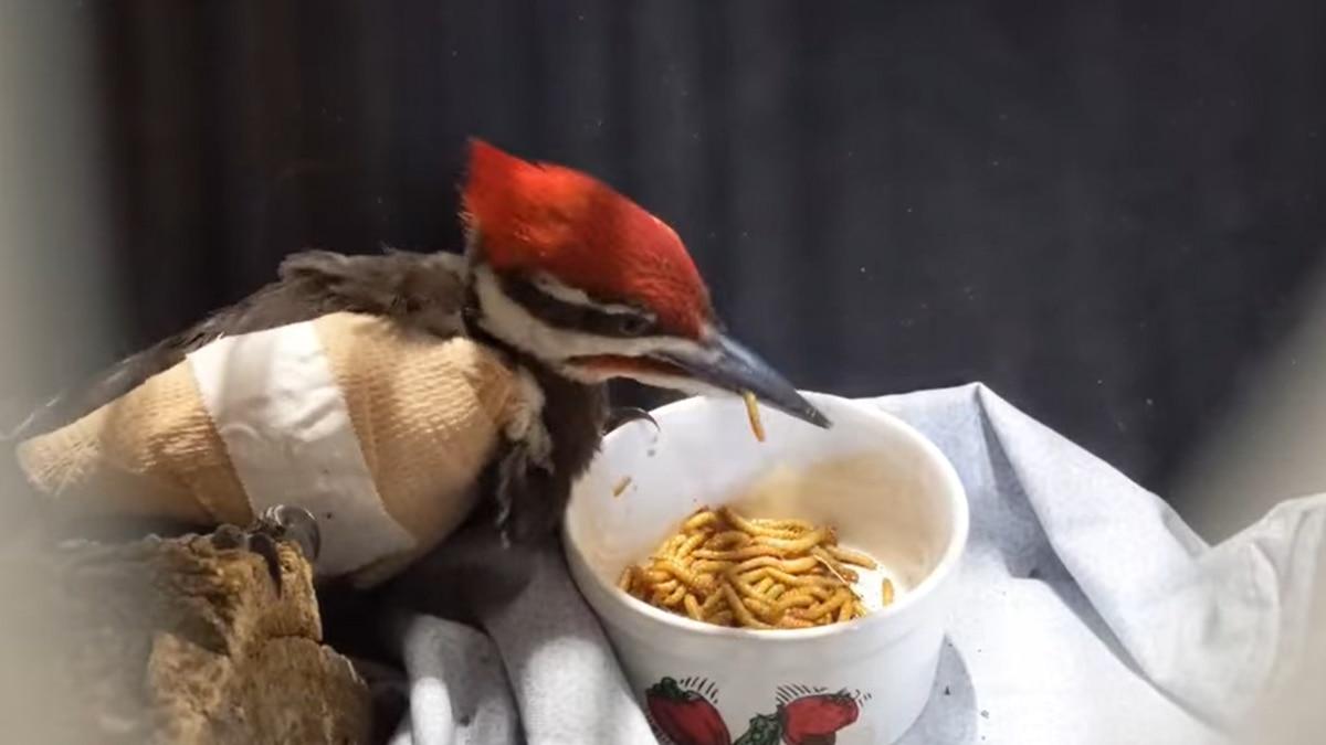 Woodpecker eats live mealworm.