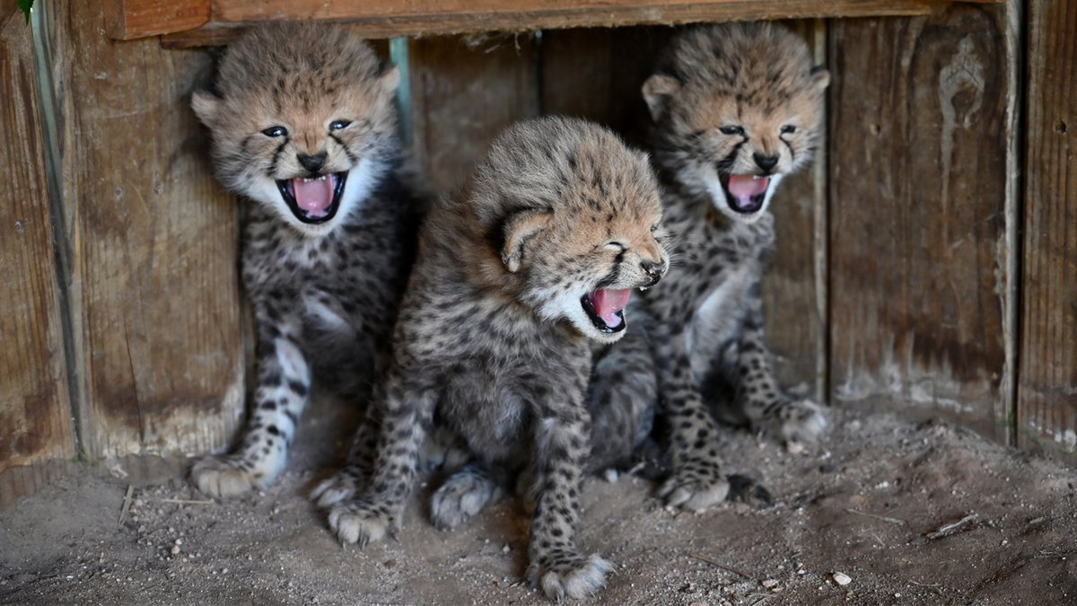 Vaila the cheetah's cubs were born on April 26.