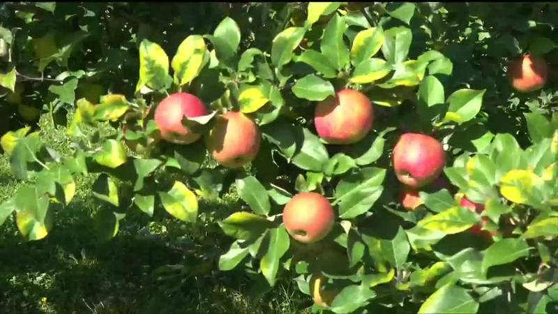 As Fall approaches, apple tree branches are being weighed down with fruit