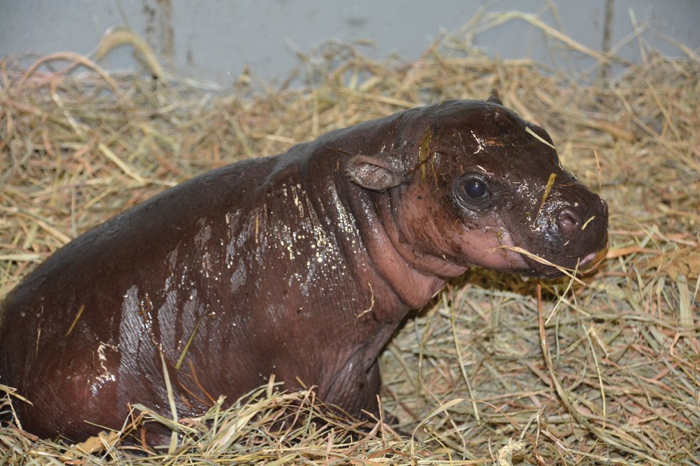 The baby only weighed 14.5 pounds two days after birth, but a full-grown pygmy hippo can weigh...
