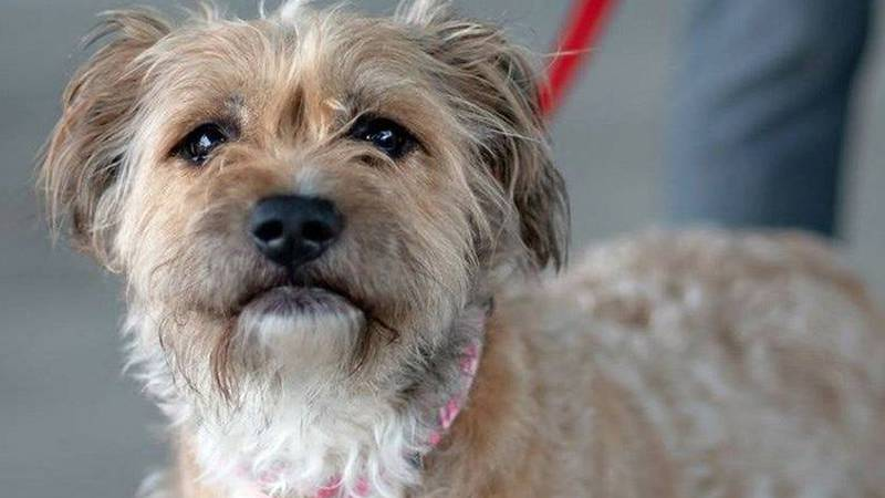 Arrabella is one dog available for adoption at Richmond SPCA. (Source: Richmond SPCA)