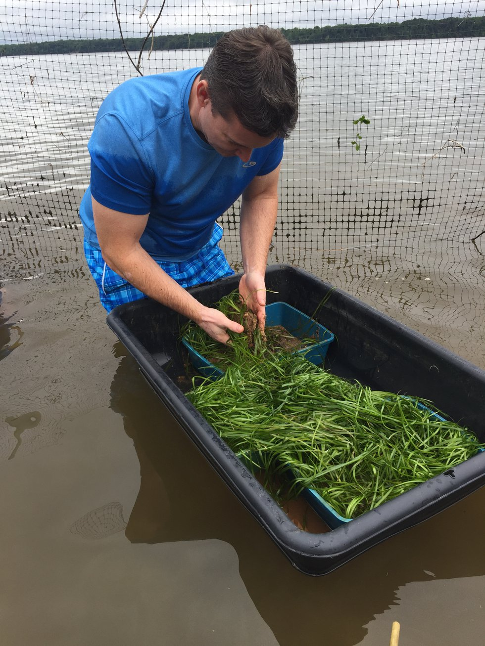 The Chesapeake Bay Foundation is looking for volunteers to grow underwater grass.